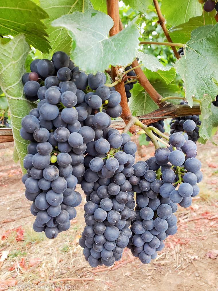 Eola Hills Legacy Winery Salem Oregon pinot noir grapes