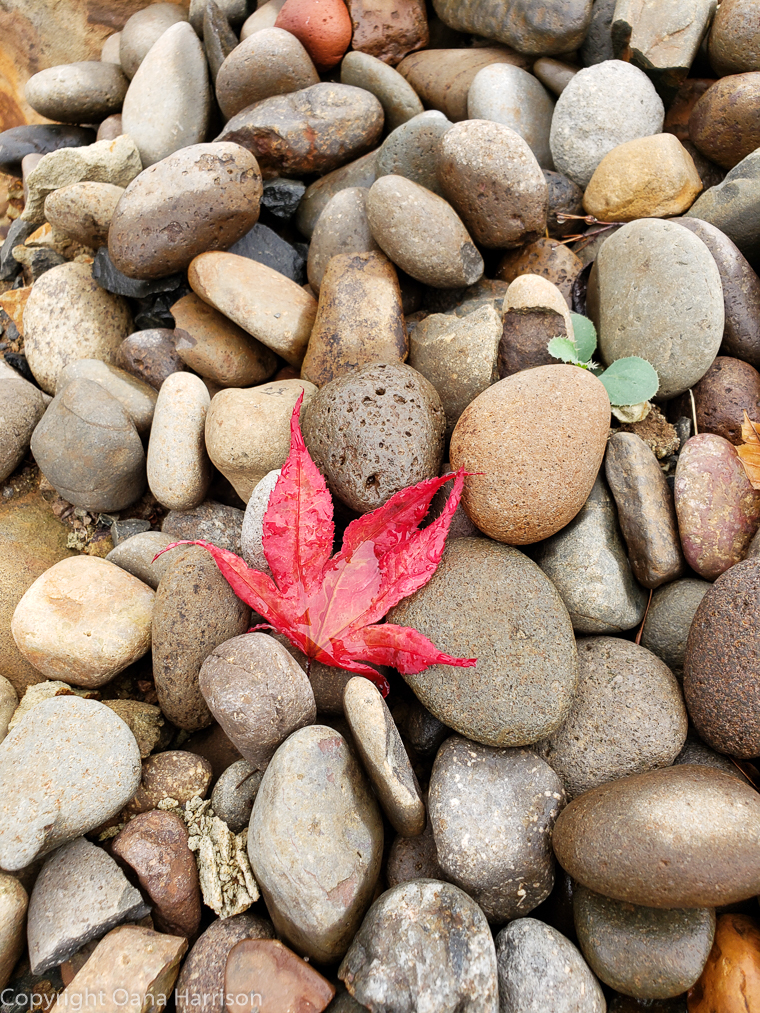 Eola Hills Legacy Winery Salem Oregon red maple leaf on grey pebbles