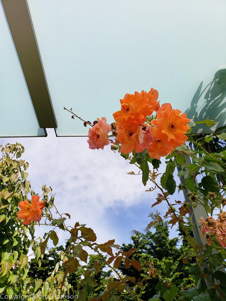 Orange-Roses-by-Space-Needle-Seattle-WA-19