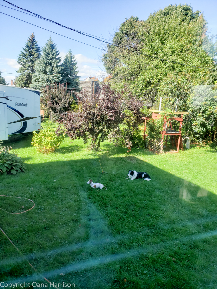 Sallaberry-de-Valleyfield-Canada-dogs-relaxing-in-back-yard