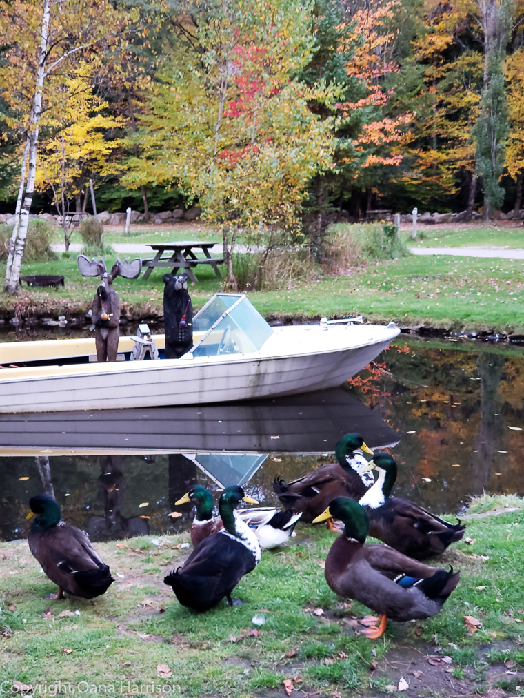 Ducks at campground