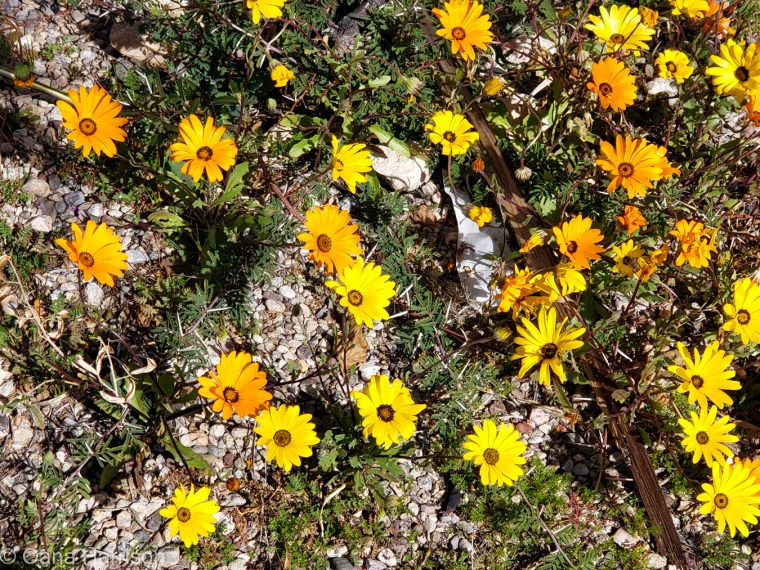 Las Colinas RV Park Arizona yellow flowers