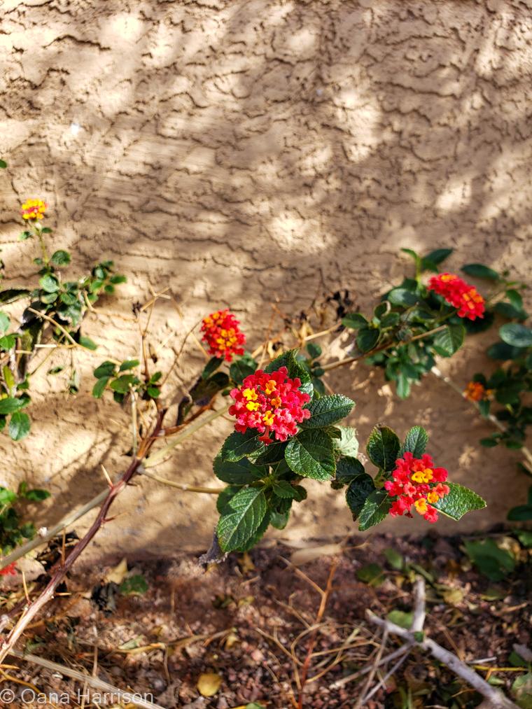 Las Colinas RV Park Arizona pretty flowers