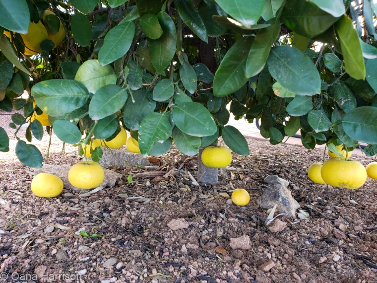 Las Colinas RV Park Arizona grapefruit