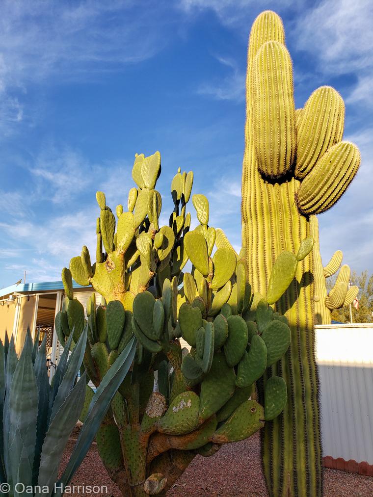 Las Colinas RV Park Eloy Arizona cacti