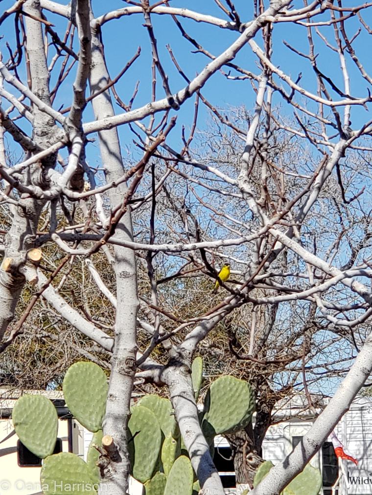 Cactus Country RV Park Arizona yellow finch