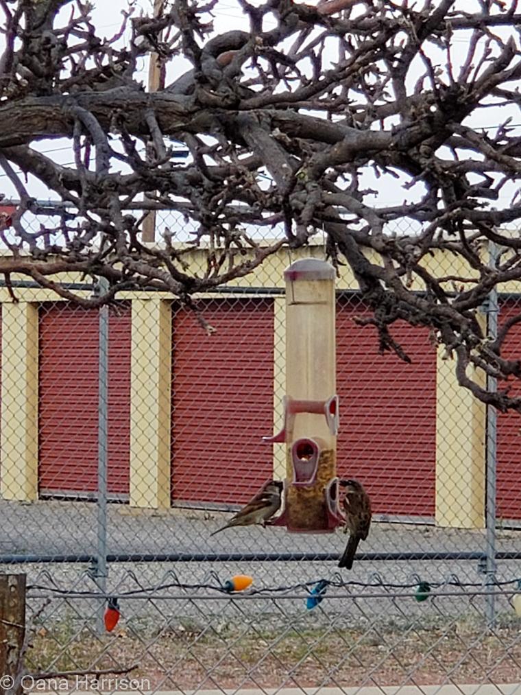 Birds at the feeder, Grande Vista RV Park, Willcox, AZ