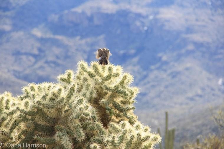 Saguaro National Park, bird on cactus