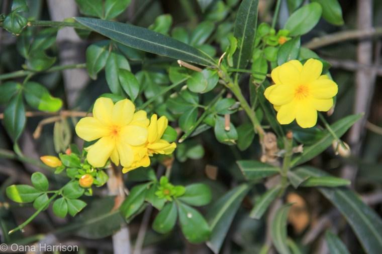 Tucson Arizona Old Town, yellow flowers