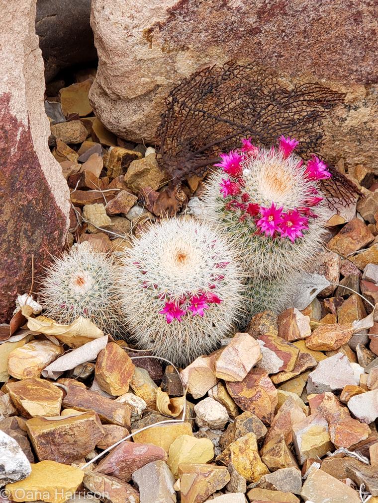 Western Way RV Park Tucson Arizona pink cactus blooms