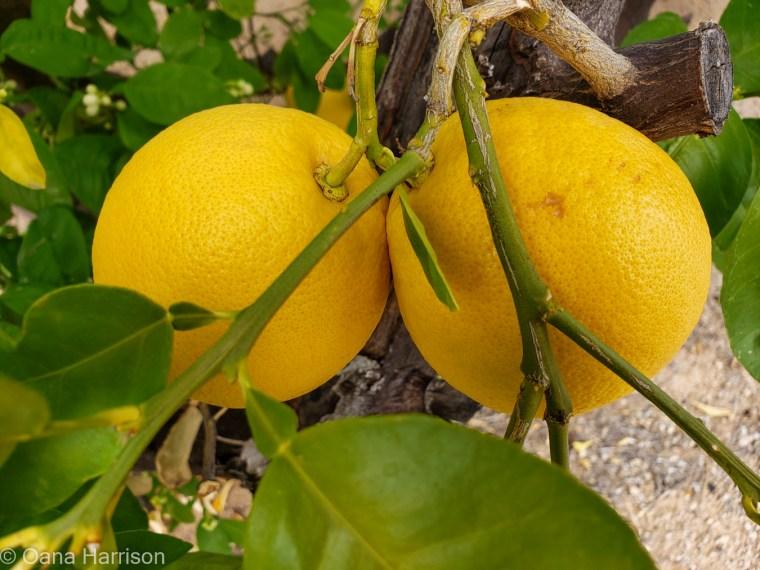 Western Way RV Park Tucson Arizona oranges