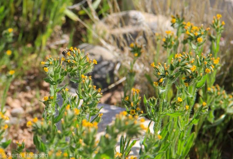 Yellow flowers, Tuzigoot National Monument, Arizona