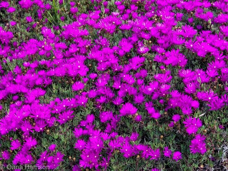 San Diego, California, bright fuchsia flowers