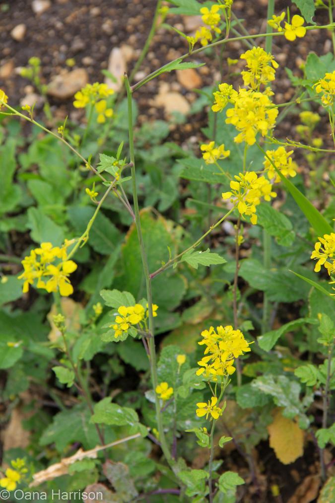 Black mustard yellow flowers