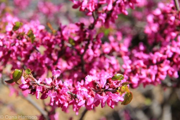 Cachuma Lake area, California, redbuds