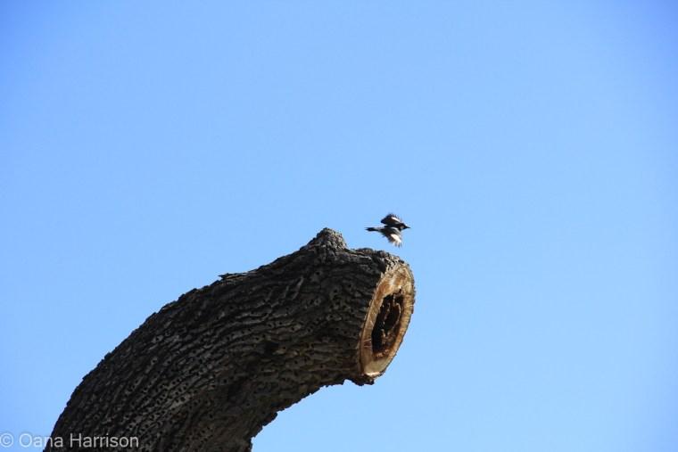 Cachuma Lake area, California, bird