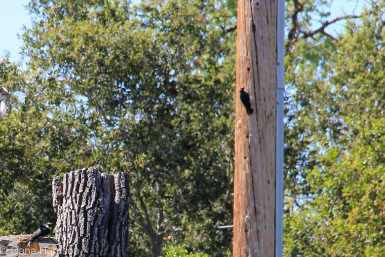 Cachuma Lake area, California, woodpecker