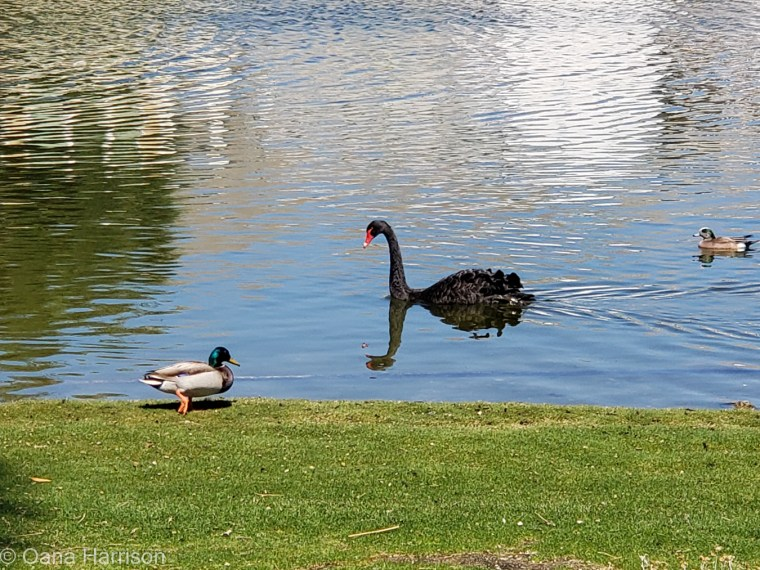 Sky Valley Desert Hot Springs CA, ducks and black swan