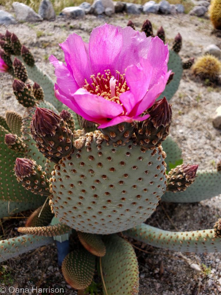 Sky Valley Desert Hot Springs CA, pink cactus flower