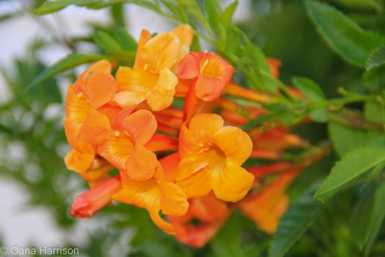 Sky Valley Desert Hot Springs CA, orange trumpet vine