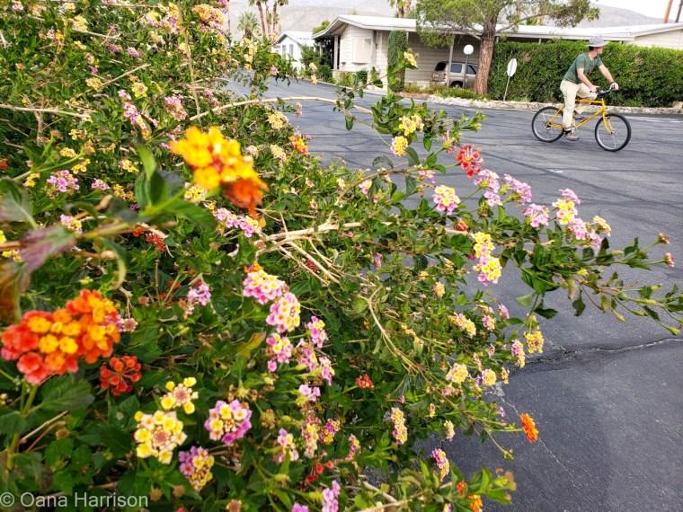 Sky Valley Desert Hot Springs CA, colorful lantana flowers and David riding his bike