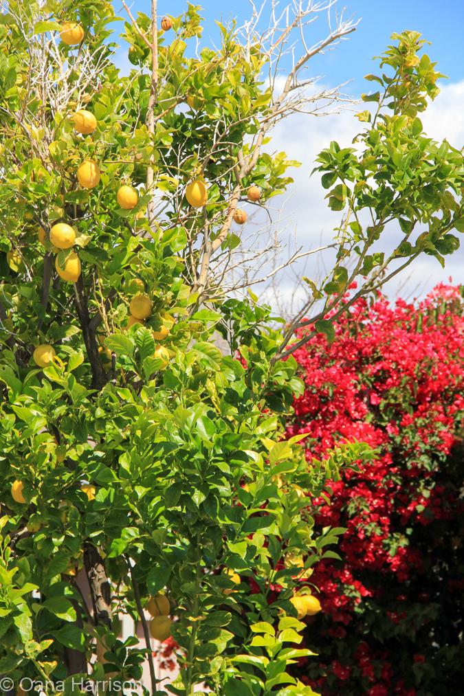 Sky Valley Desert Hot Springs CA, lemon tree and bougainvillea