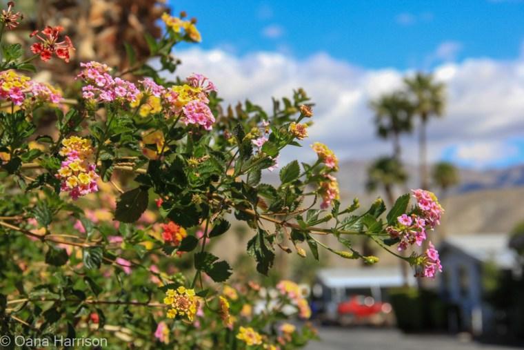 Sky Valley Desert Hot Springs CA, colorful lantana
