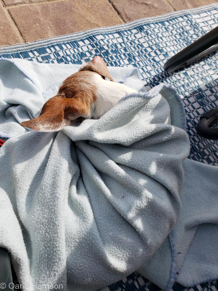 Sky Valley Desert Hot Springs CA, Roxie dog in a blankie