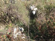 Milkweed self sowing