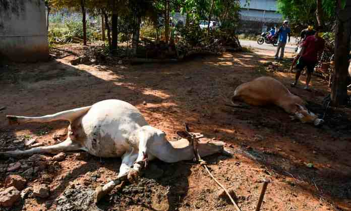 Cows dropped dead after inhaling Styrene leaked from LG Polymers