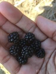 Freshly-picked black berries.
