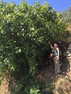 Picking some figs to taste.