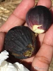 My first taste of fig: heavenly.