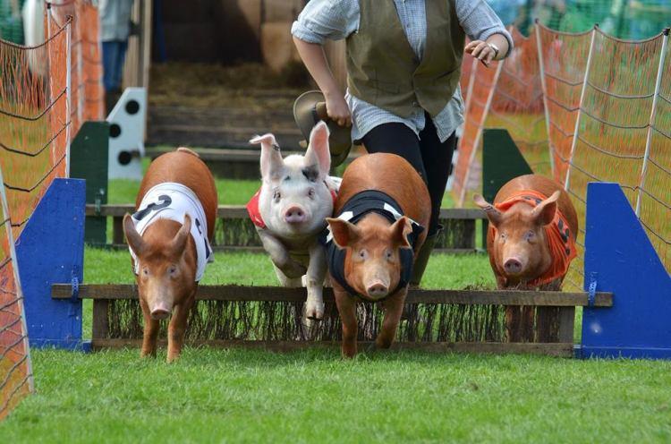 Joseph's Amazing Racing Pigs