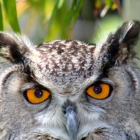 Great Horned Owl Eyes – How Far Can a Great Horned Owl See?