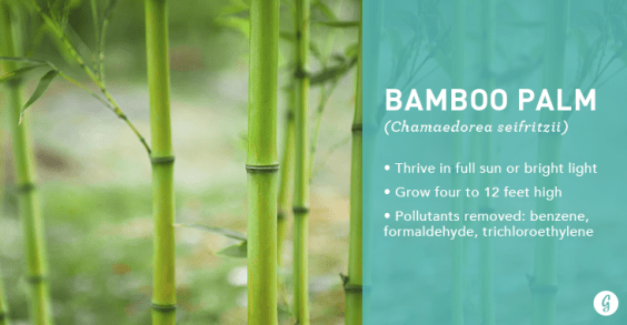 9 Easy-to-Care For Houseplants That Clean the Air: Bamboo Palm