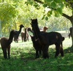 Providing a full range of alpaca mentoring ...