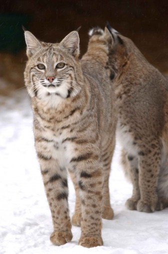 """Bobcat or """"lynx rufus"""" -- Image: Ohio Department of Natural Resources"""