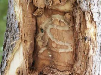 An adult ash borer within the wood tissue. Image: Gerald Wheeler