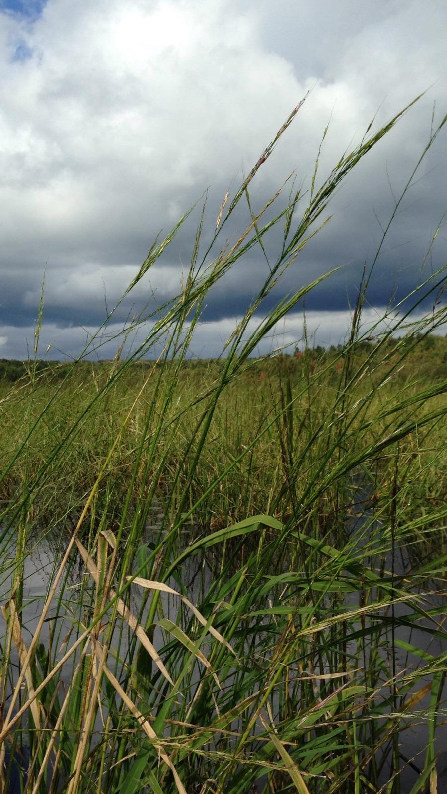 New Effort To Track Wild Rice In Michigan Great Lakes Echo