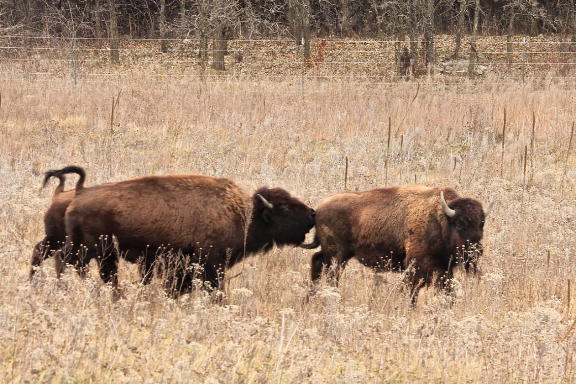 Minneopa State Park bison herd set for expansion  Great