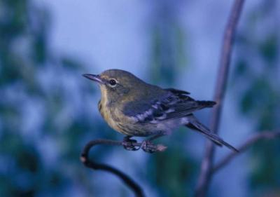Bird watching in Michigan - Kirtland's Warbler