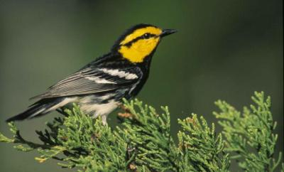 Bird watching in Michigan - Kirtland's Warbler