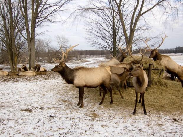 Elk in Michigan