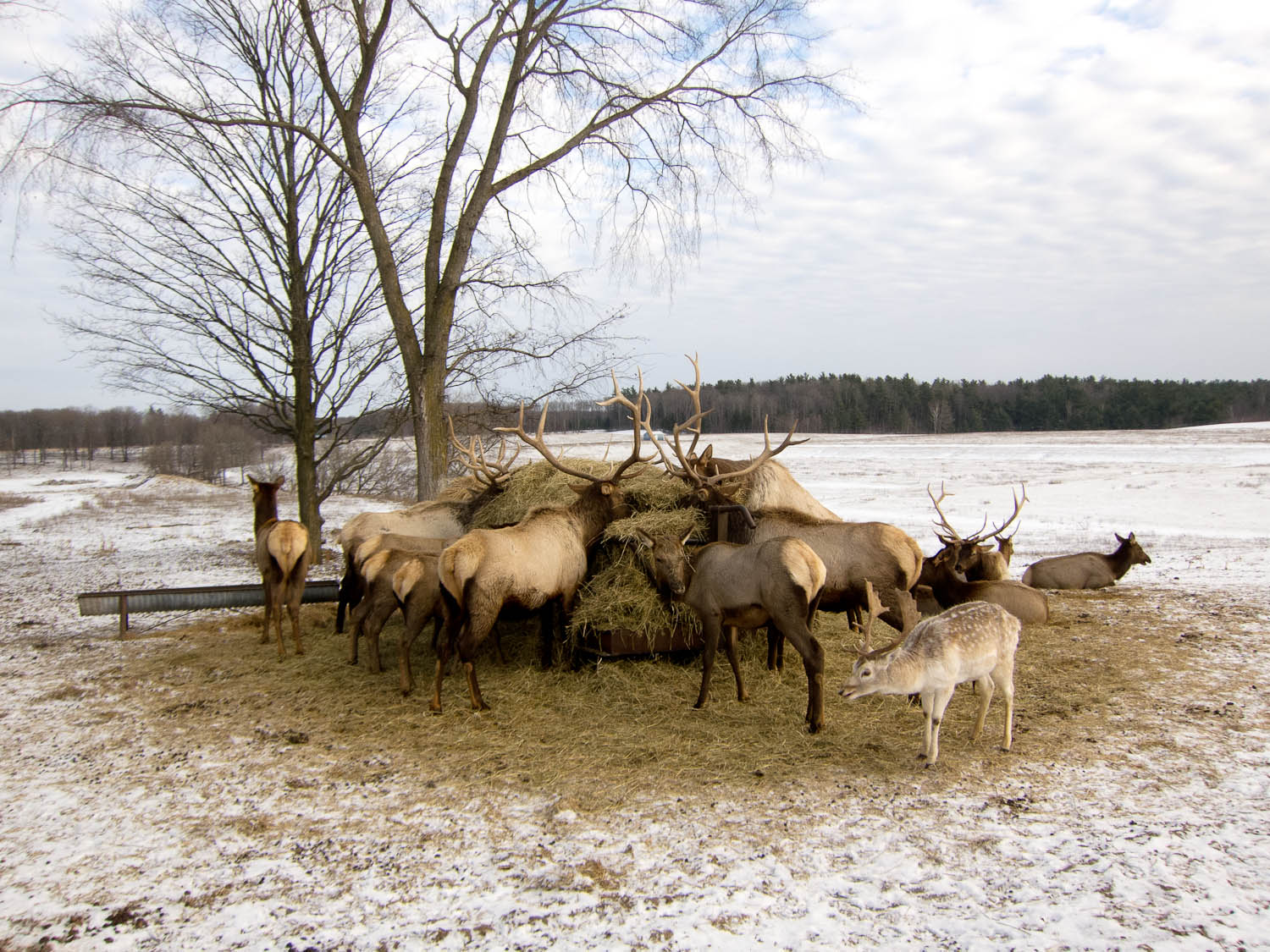 Where To See Elk In Michigan Great Lakes Explorer
