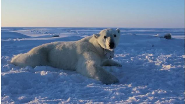 Arctic Polar Bears, Contaminated With Hundreds Of Unknown Chemicals, New Study Revealed