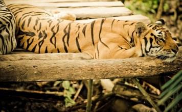 harimau hewan asli sumatera