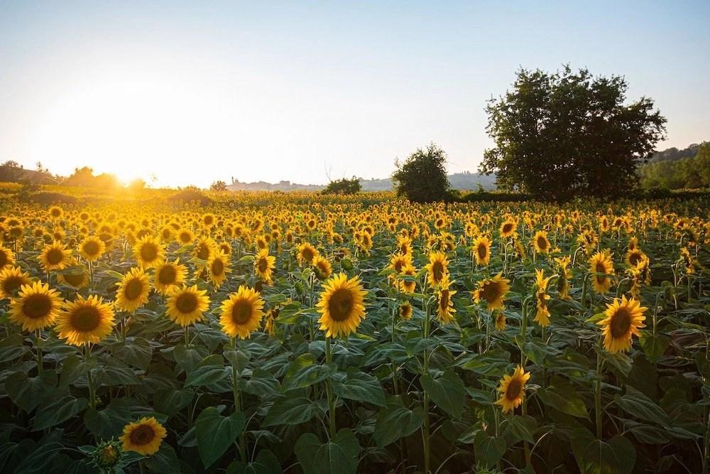 Kansas Sunflower Fields Hero