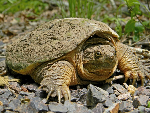 Common_Snapping_Turtle_Close_Up_Dakota_L_CC_BY-SA_FPWC