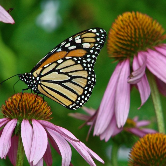 A monarch butterfly lands on Echinacea